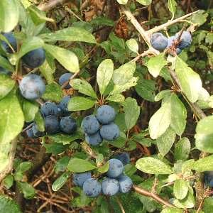 Sloes. Fruit of the blackthorn